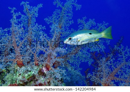 Lutjanus ehrenbergi, snapper over colorful soft corals