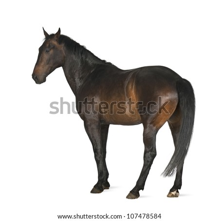 Luxemburger Warmblood, 5 years old, horse, standing against white background - stock photo
