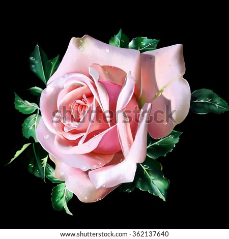 luxury cream rose with dew drops isolated on black background closeup - stock photo