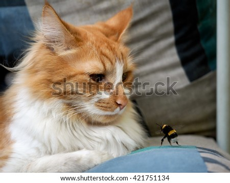 Luxury red cat watching an insect - a bumblebee. Bumblebee attack cat. - stock photo