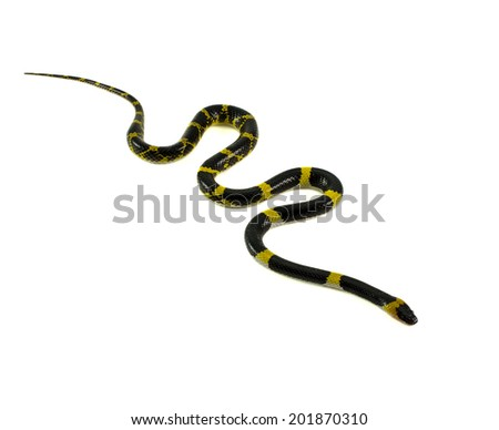 Lycodon laoensis Gunther, 1864 , snake isolated on white - stock photo
