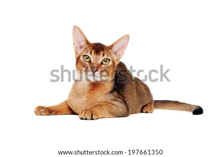 lying abyssinian cat on the floor front view closeup portrait - stock photo