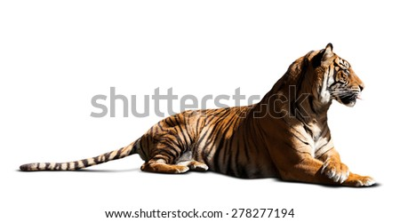 lying adult tiger. Isolated  over white background with shade - stock photo