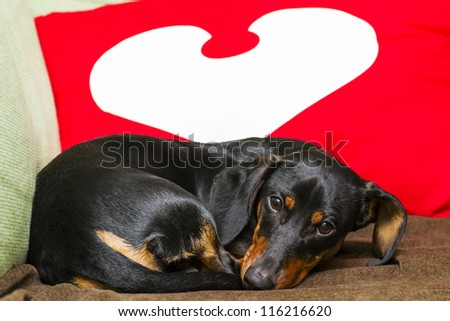 lying and looking cute dachshund - stock photo