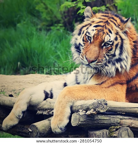 Lying and resting sad tiger in captivity at the zoo - stock photo