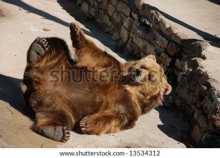 Lying brown bear at zoo - stock photo