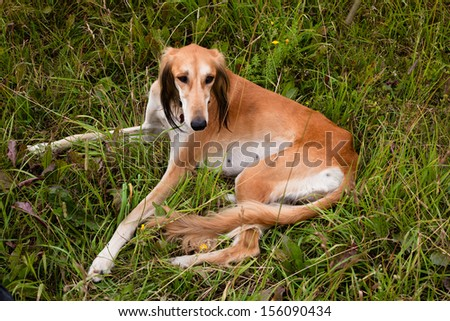 Lying brown saluki in green grass