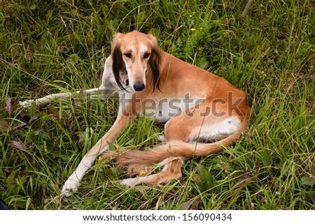 Lying brown saluki in green grass  - stock photo