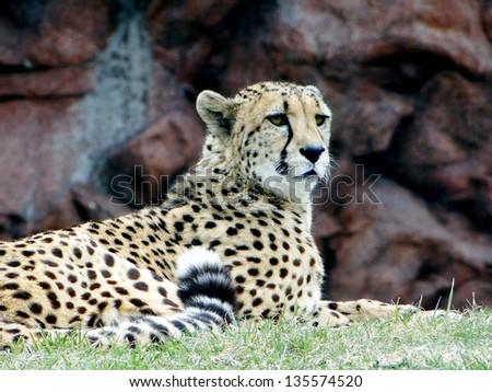 Lying Cheetah - stock photo