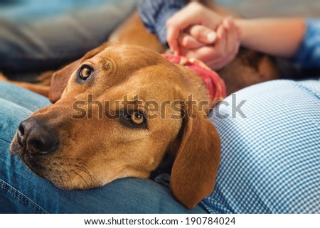 Lying dog ( Rhodesian ridgeback ) with his head on legs pregnant moms - stock photo
