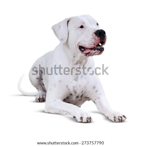 Lying  Dogo Argentino. Isolated over white  background with shadow