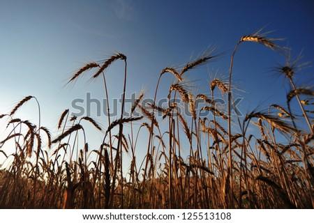 Lying in a wheat field watch the sky - stock photo