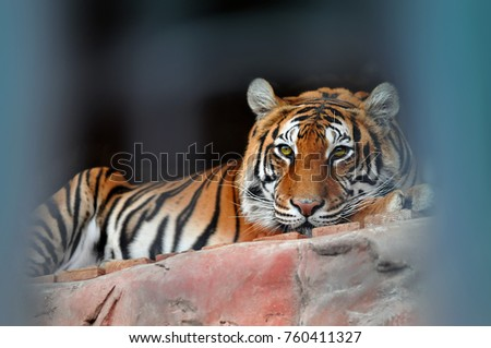 Lying in cage thoughtful green eyed Bengal Tiger