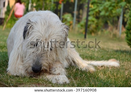 Lying Irish Wolfhound dog eats bone on the grass. The dog gnaws a bone in the garden on the lawn - stock photo