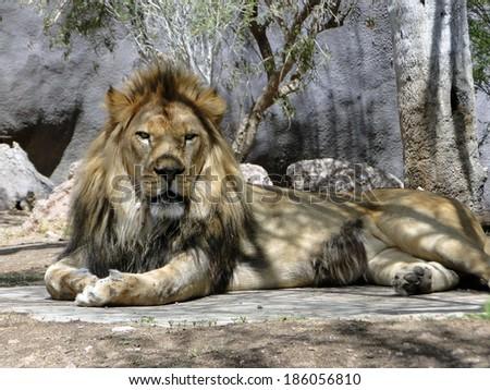 Lying Lion - stock photo