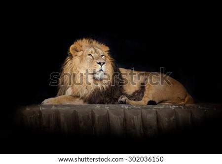 lying lion isolated on black - stock photo