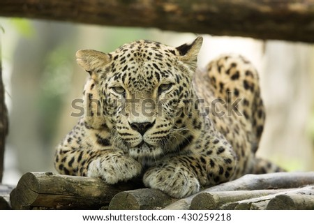 lying male Persian Leopard, Panthera pardus saxicolor