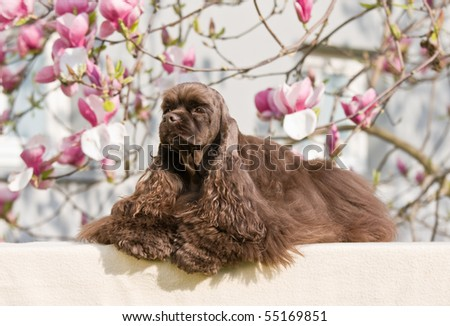 Lying nice american cocker spaniel - stock photo