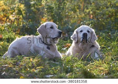 lying on the grass dog breed golden retriever - stock photo