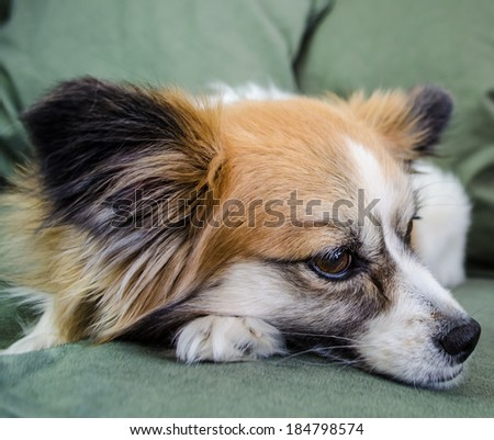 Lying Papillon Dog - stock photo
