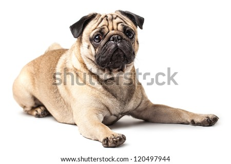 Lying Pug isolated on White Background with soft shadow. - stock photo