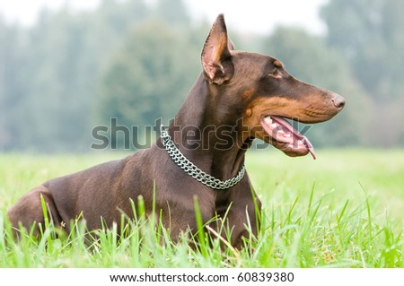 Lying purebred brown Doberman pinscher with open mouth outdoors - stock photo