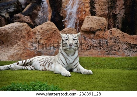Lying white tiger in captivity - stock photo