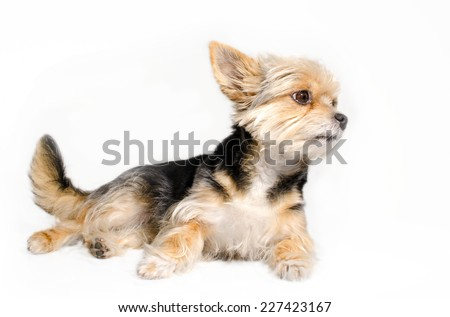 Lying yorkshire puppy isolated on white background.