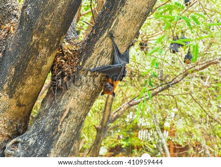 Lyle's flying fox perch on tree
