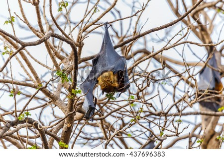 Lyle's flying fox - (Pteropus lylei)