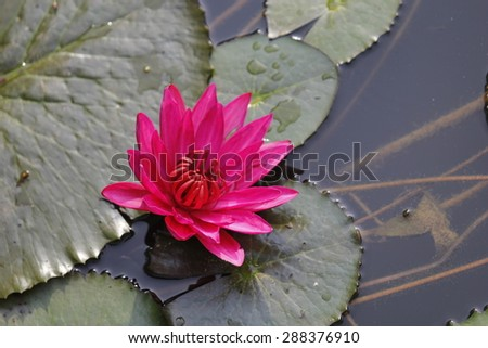 lyly water flower, natural background.slective focus