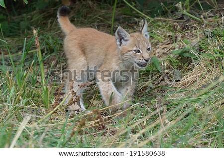 Lynx ( baby) - stock photo