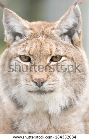 lynx cat close up of head - stock photo