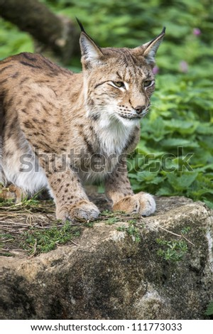 lynx crouched on a rock, side profile/Lynx on Rock
