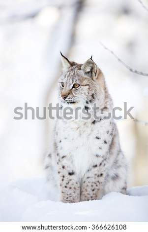 Lynx cub sits in the cold snow - stock photo