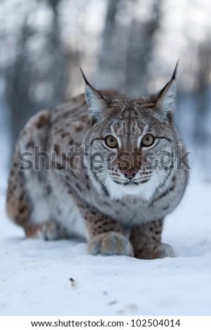 Lynx in snow, Norway - stock photo