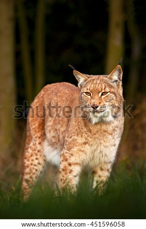 Lynx in the forest. Wild cat in the nature forest habitat. Eurasian Lynx in the forest, birch and pine forest. Lynx standing on the green moss stone. Cute lynx, wildlife scene from nature, Germany - stock photo