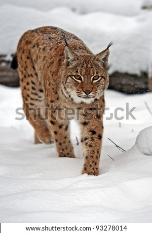 Lynx in winter - stock photo