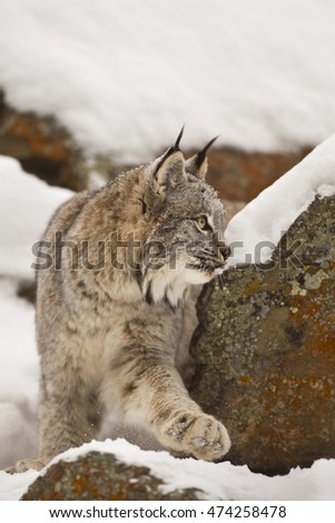 Lynx is walking on white snow calmly.  Lynx is getting ready for preying. Focused on his hunt. Lynx is walking down to the rock. Lynx is walking silently on the snow.