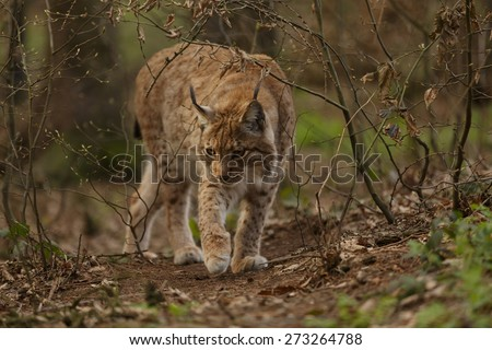 Lynx lynx. Close-up portrait of an Eurasian Lynx in forest (Lynx lynx) - stock photo