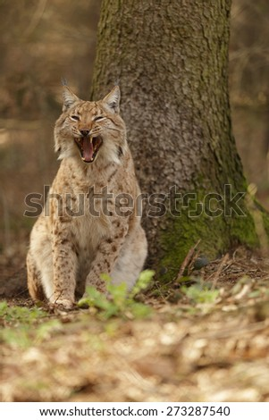 Lynx lynx. Weary Eurasian Lynx in forest. Sleepy cat. - stock photo
