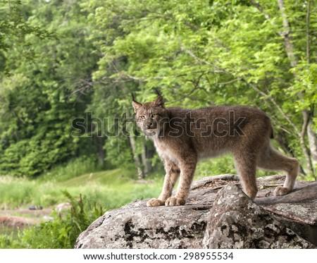 Lynx Making Eye Contact - stock photo