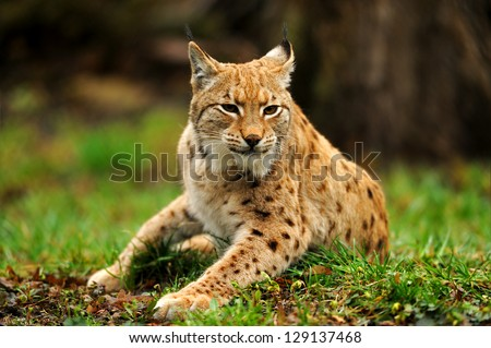 Lynx on the green grass in the spring