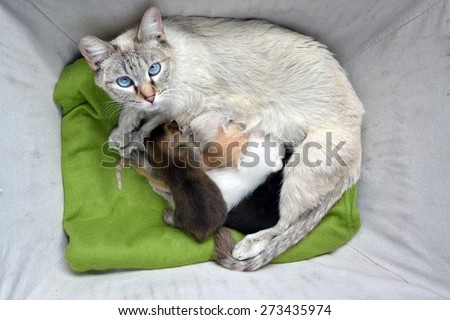 Lynx point Siamese  tabby Cat nursing litter of mulit-colored newborn kittens - stock photo