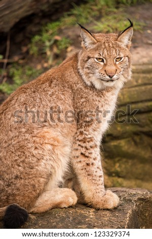 lynx portrait against a background of rock and grass/Lynx - stock photo