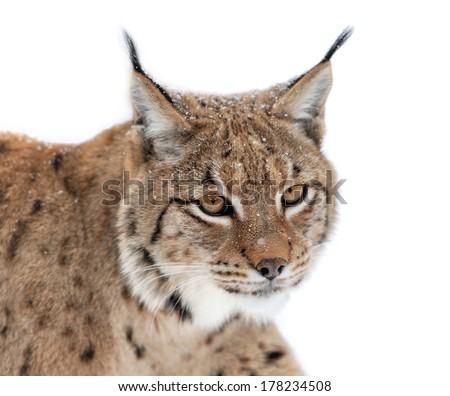 Lynx portrait isolated on white background - stock photo
