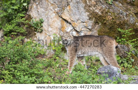 Lynx posing in front of large rock