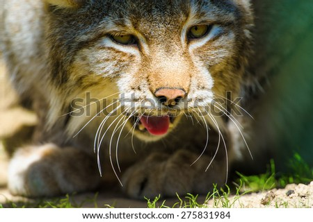 Lynx sits in a hollow tree - stock photo