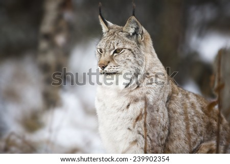 Lynx sitting in the winter forest - stock photo