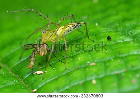 Lynx Spider Eating Mosquito